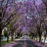 Jacaranda Grafton-mini